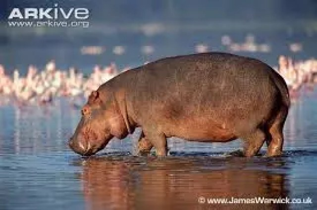 WHY THE HIPPOPOTAMUS LIVES IN THE WATER 2