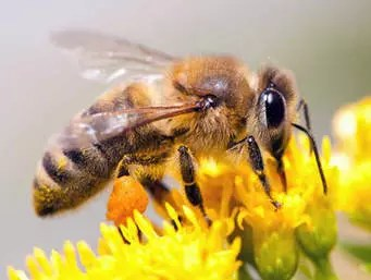 DID YOU KNOW HUMANITY DEPENDS ON HONEY BEES? 1