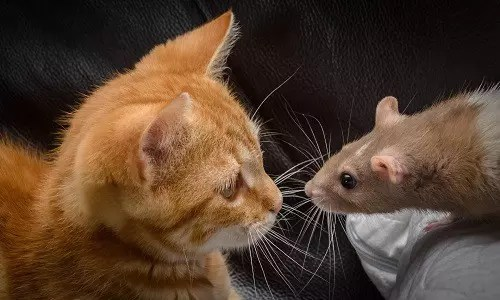 WHY THE CAT KILLS RATS; AN AFRICAN FOLKTALE 1