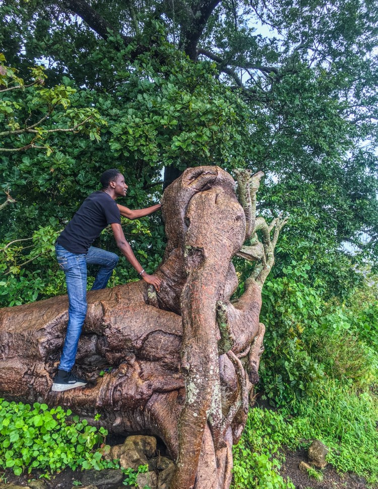 Johnson Okùnadé climbing the elephant tree