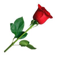 ורד ארומה יין