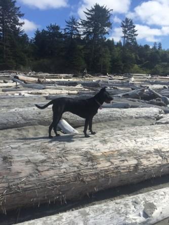 onp_dog-driftwood
