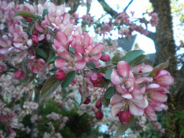 Apple blossoms, photo by mzrosie