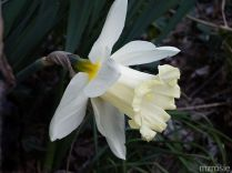 Daffodil – White petals with cream trumpet