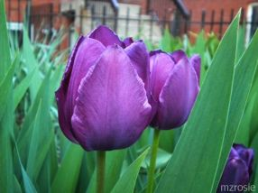 Purple Tulips for Prince