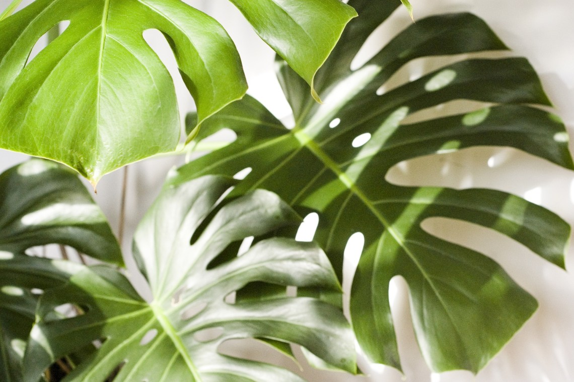 monstera-foliage-houseplants