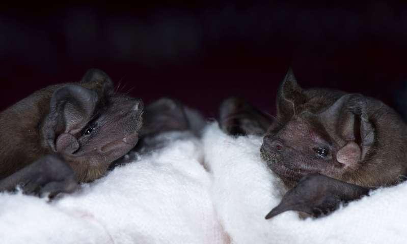 خفاش/bat
