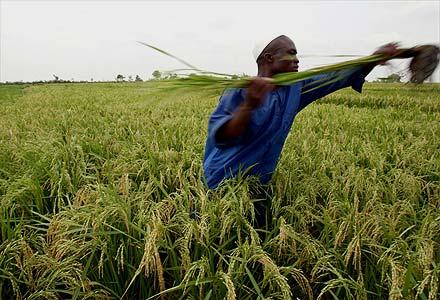 Agricultor recolhe espigas de arroz em fazenda na região de Bagre a05a022372a00