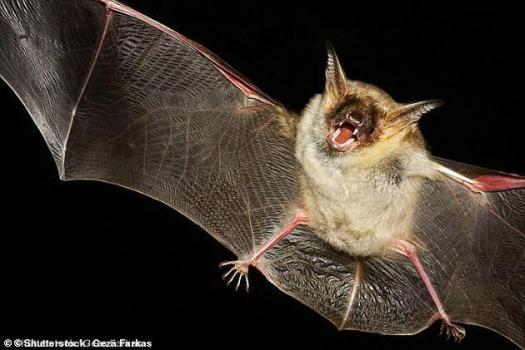 菊头蝠、长耳蝠、常见的吸血蝙蝠、以及至少一种鼠耳蝠的寿命都比同等体积的哺乳动物长四倍以上。