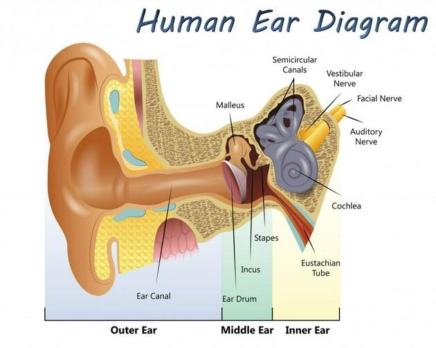 人耳解剖圖