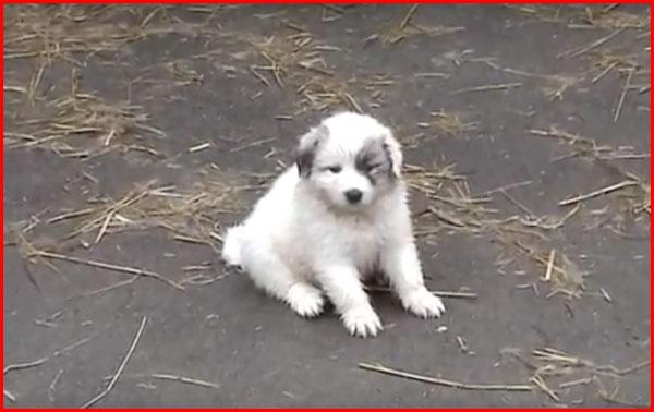 グレートピレニーズ 子犬
