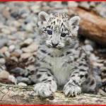 ユキヒョウの赤ちゃん可愛いすぎ…旭山動物園で一般公開開始!
