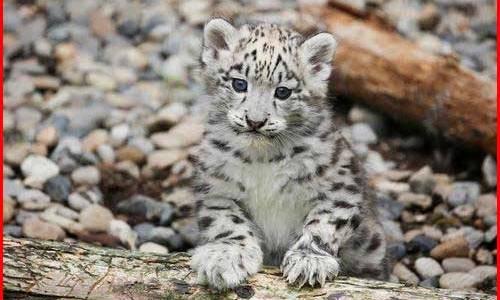 ユキヒョウの赤ちゃん可愛いすぎ...旭山動物園で一般公開開始!