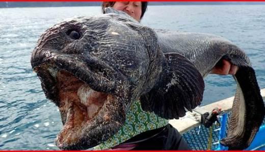 オオカミウオとは?TOKIOが釣り上げた幻の巨大魚!生態は?飼育は可能?