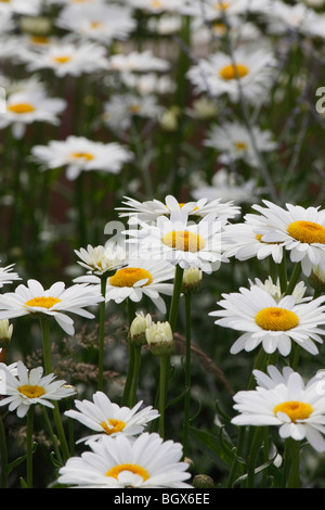 Blooming white beauty daisys daisy flowers no not people ...