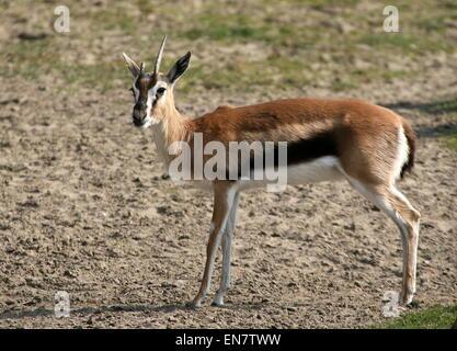 THOMSON'S GAZELLE Gazella thomsoni close up of the feet and hooves Stock Photo, Royalty Free ...