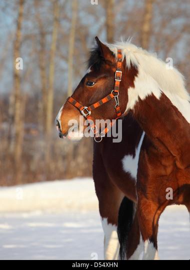 Dappled White Horse Head Stock Photos & Dappled White ...