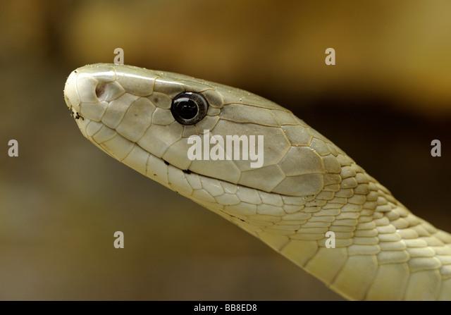 Black Mamba Snake Stock Photos & Black Mamba Snake Stock