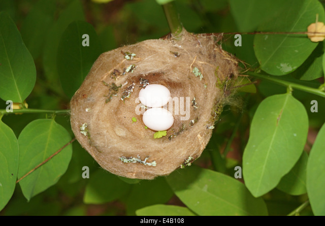 Baby Ruby Throated Hummingbird Eggs