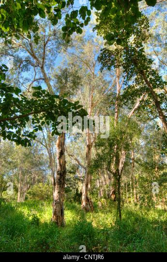 Growing Eucalyptus Trees Ca