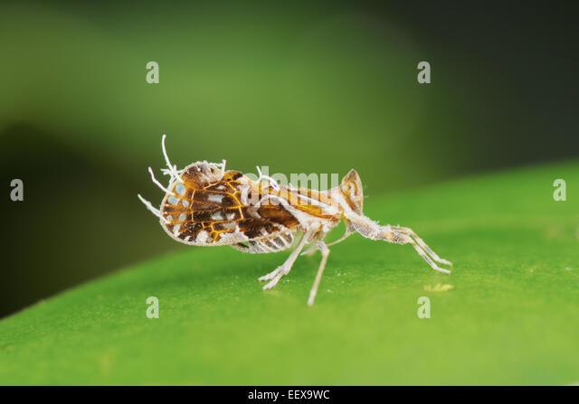 Planthopper South America