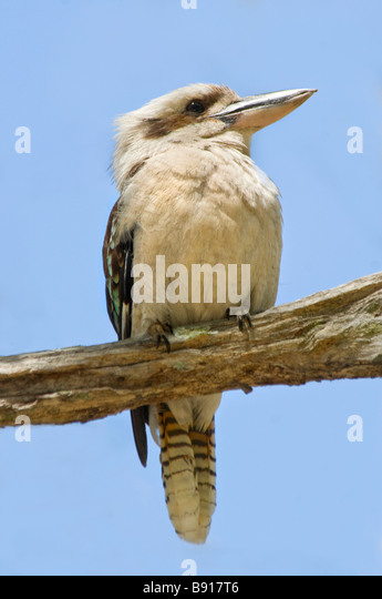 Laugh Kookaburra Laugh Song