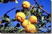 Грубый лимон или цитронелла