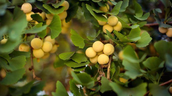 Gingko fruits
