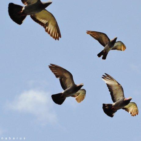 nabarus-pigeons