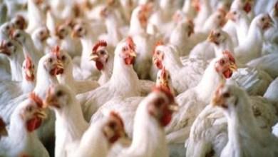 """Photo of حقيقة تفشي فيروس """"أنفلونزا الطيور"""" في مزارع الدواجن"""