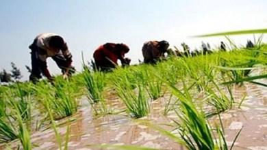Photo of حقيقة حظر زراعة الأرز في مصر بشكل نهائي