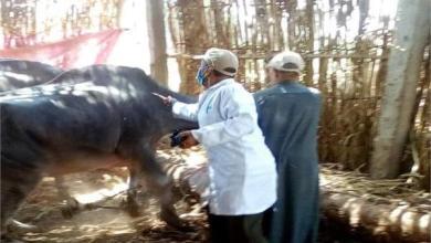 Photo of الزراعة: تحصين نصف مليون رأس ماشية ضد الحمي القلاعية والوادي المتصدع