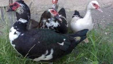 Photo of بلاغ رسمى ضد شخص سرق بطه من سوق الطيور دون دفع ثمنها بدمنهور
