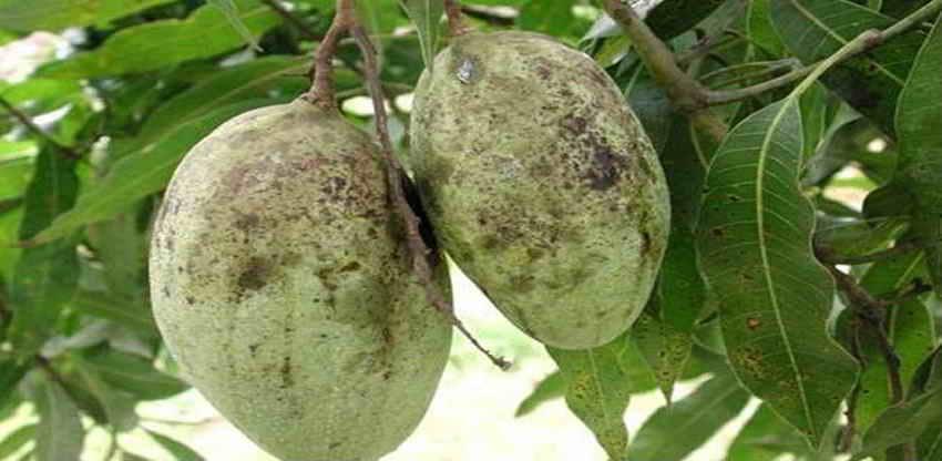 ماذا أصاب محصول المانجو هذا العام.. (التفاصيل)