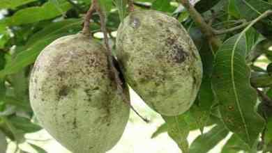 Photo of ماذا أصاب محصول المانجو هذا العام..  (التفاصيل)