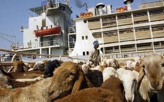 (نبض السودان) ينشر الضوابط السعودية لاستيراد الماشية السودانية