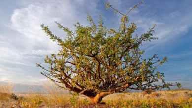 """""""الدواء في السودان"""" .. أسرة مصابه بكورونا تكشف عن علاجها بورق الأشجار"""