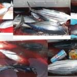 830年前は伊良湖で鰹が釣れてたんだよ!