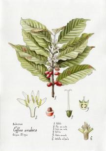 Coffea arabica1