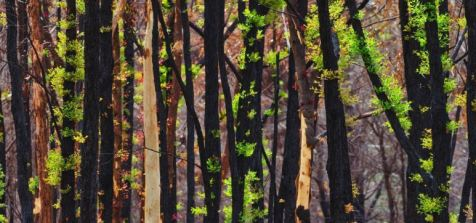 trunks of charred trees shooting new green leaves after the 2020 bushfires