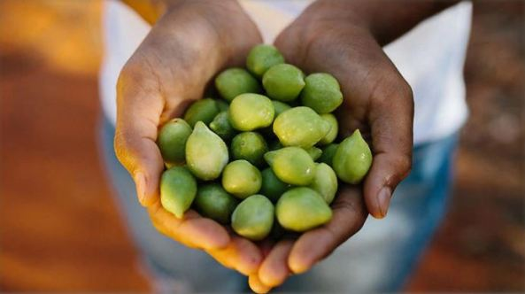 Aboriginal hands holding Kakadu Plums