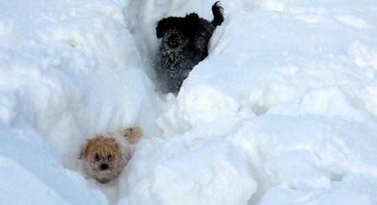 Mycket snö eller små hundar... 550 b