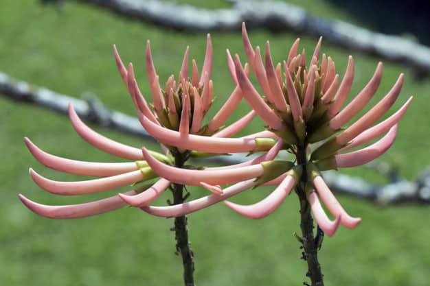 Planta mulungu