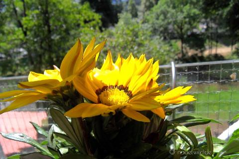 gelber Sommerblume