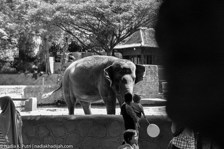 Suasana area kandang gajah tunggang Jogja di Kebun Binatang Gembira Loka, Yogyakarta (19 Juni 2019). Foto Nadia K. Putri/nadiakhadijah.com
