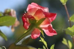 Sunny late rose