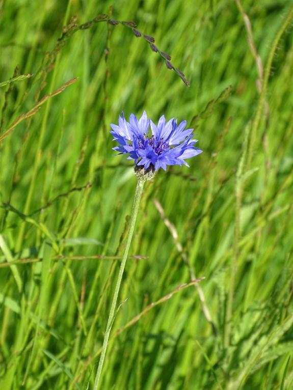 Kornblume-Cornflower-Bleuet