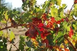#073 Grape Vine