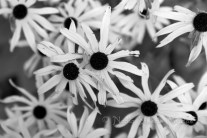 #196 Black-Eyed Susans B&W