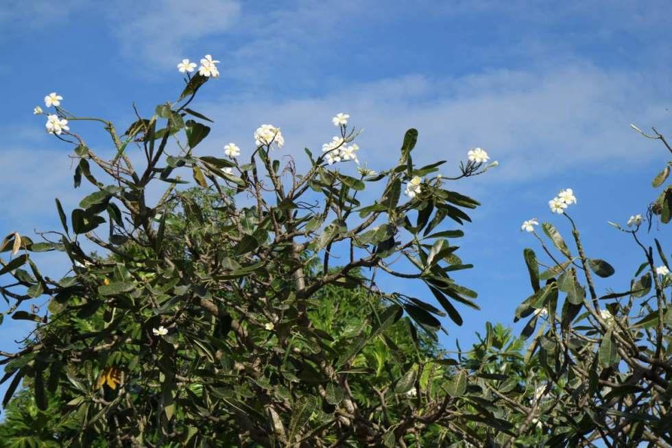flowers at the nacula village, fiji